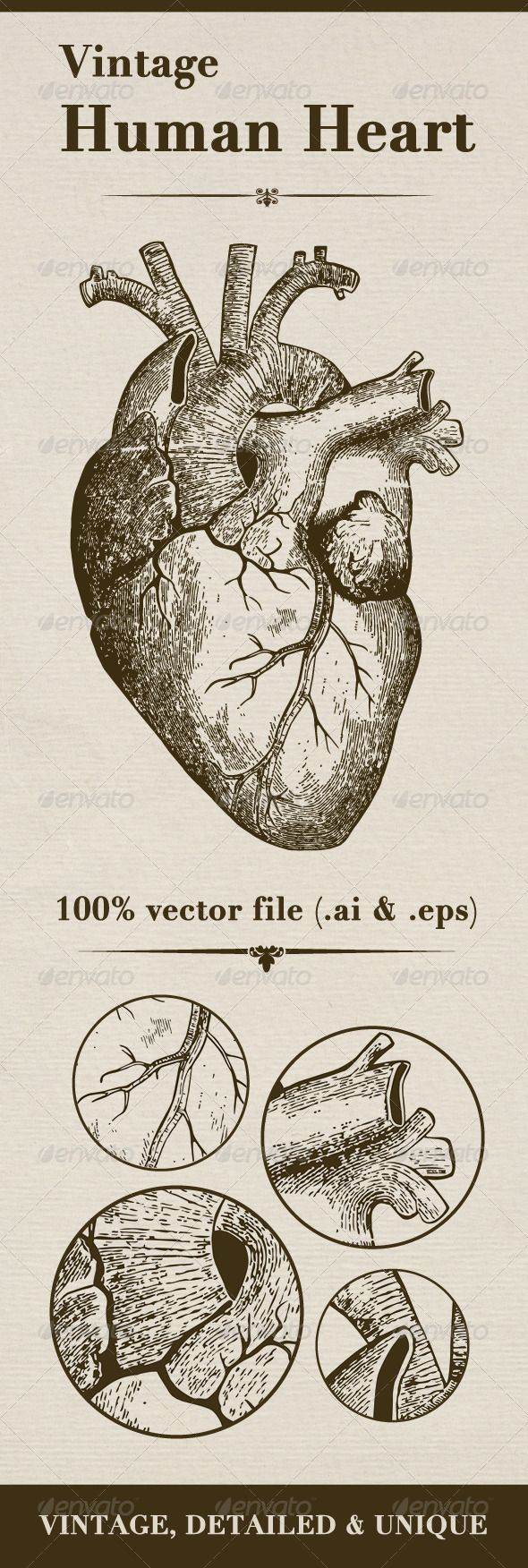 Vintage Human Heart #GraphicRiver I present You vintage vector human heart. Not some cartoon love symbol, but real organ of human body in XIX century medical textbook drawing style. Unique and vintage detailed look.