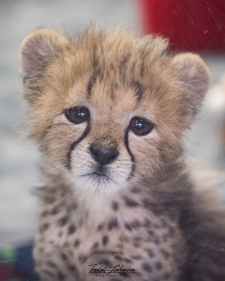 Cheetah cub sad face