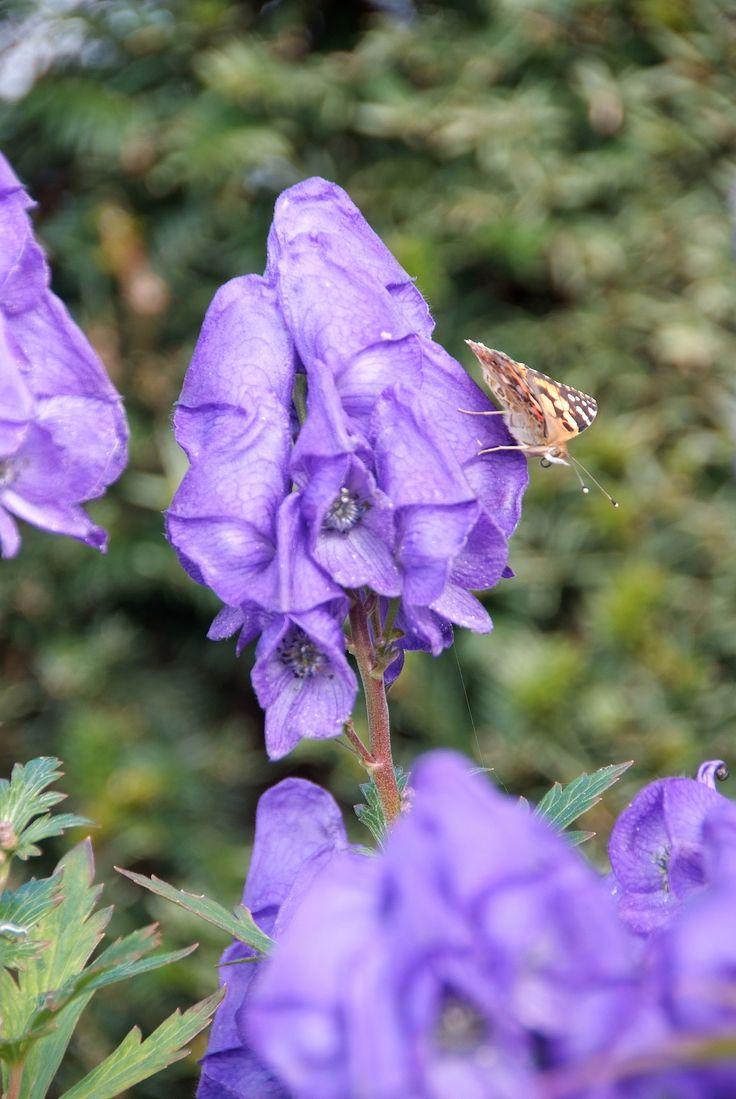 Aconitum - Vaste planten prikkelen de zintuigen, verbeteren het stadsklimaat, vragen weinig onderhoud en zijn zeer aantrekkelijk voor bijen en vlinders. Een afwisselende beplanting, met veel verschillende soorten, heeft bovendien een positief effect op het welzijn van mensen. Openbaar groen kan dankzij vaste planten dus kleurig, ecologisch waardevol én onderhoudsvriendelijk worden.