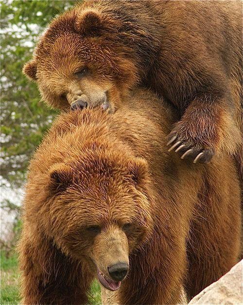 bears photos Chubby