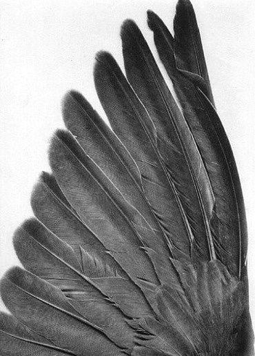 FEATHERS: Raven, Angel Wings, Inspiration, Texture, Art, Wings Feathers