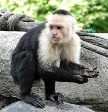 capucin monkey - Google Search: capucin monkey - Google Search