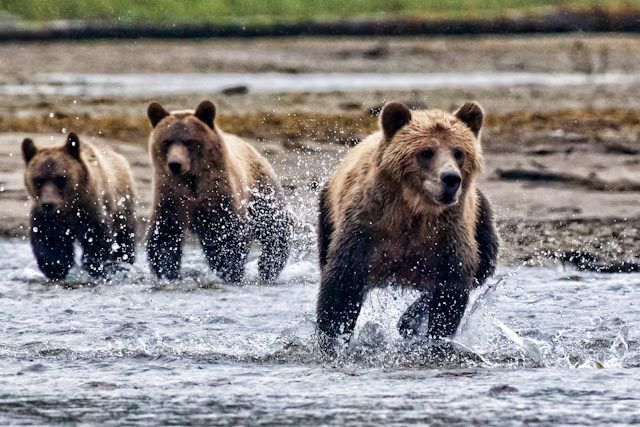Grizzly Bear Nature Tours – Tiderip Grizzly Bear Tours