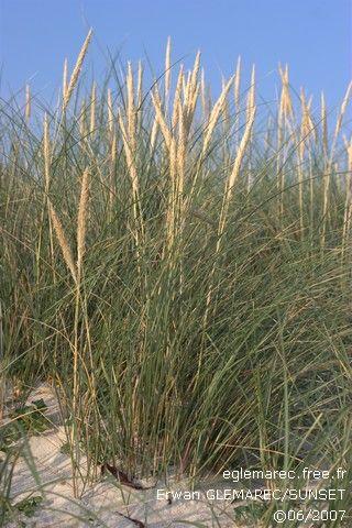Ammophilia arenaria oyat plantes de bord de mer for Plante curry