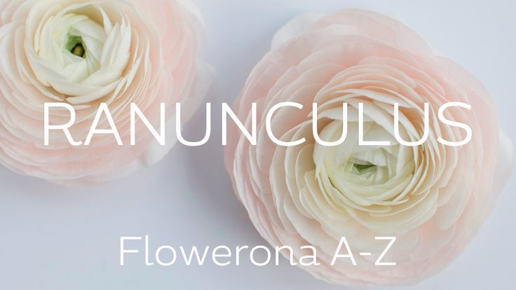 Ranunculus | Flowerona A-Z | flowerona TV - Launching a new YouTube series, the Flowerona A-Z. And the first flower under the floral spotlight is the ranunculus. There's a little bit of background, an overview of four types of ranunculus, plus some beautiful designs featuring this popular flower.