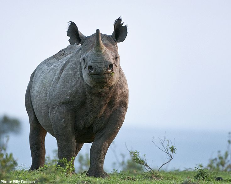 In the wild, the adult black or white rhino has no predators except for humans. Rhinos are hunted and killed for their horns. The major demand for rhino horn is in Asia, where it is used in ornamental carvings and traditional medicine. Rhino horn is touted as a cure for hangovers, cancer, and impotence.  Their horns are not true horns; they are actually made of keratin—the same material that makes up our hair and nails.