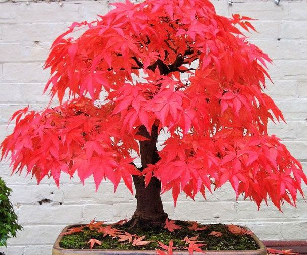 Achieve inner peace while adding a touch color to your home's decor with the red maple bonsai tree kit. The life giving kit comes with everything necessary to grow your very own miniature tree - making it an ideal gift for any member of the family.