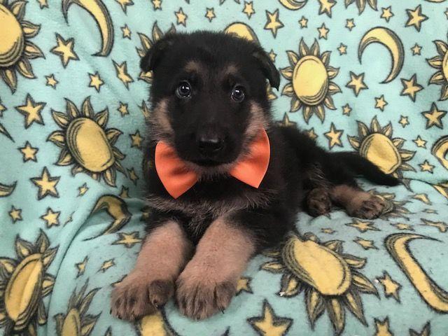 German Shepherd Dog puppy for sale in EAST EARL, PA. ADN-66800 on PuppyFinder.com Gender: Male. Age: 5 Weeks Old #germanshepherdpuppy