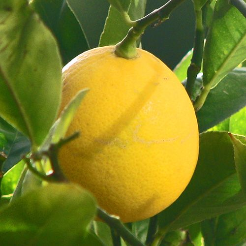 dwarf meyer lemon tree care instructions
