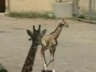 Baby giraffe running. So cute!!!