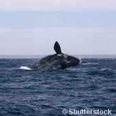Des chercheurs ont identifié un globicéphale hybride au large de la côte espagnole.