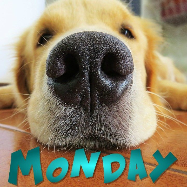 It S Monday Here S A Puppy Nose If It Helps Mondaymotivation