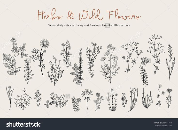 Herbs And Wild Flowers. Botany. Set. Vintage Flowers. Black And White Illustration In The Style Of Engravings. - 365081714 : Shutterstock