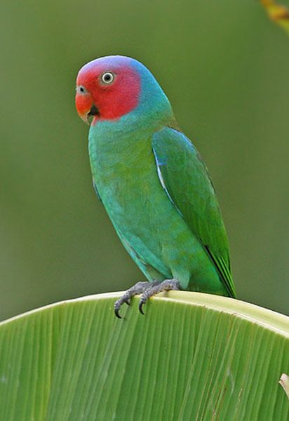 The lovely Red-cheeked Parrot (Geoffroyus geoffroyi) is found in Indonesia, Papua New Guinea and the tip of northern Australia.