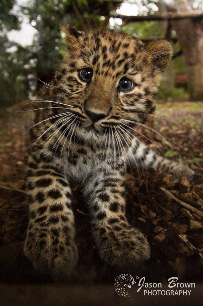 Amur Leopard cub at Marwell Zoo. Marwell is a conservation charity and their vision is of a world where people live in balance with nature. We support that wholly