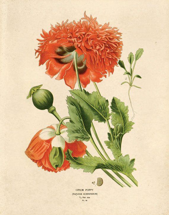 Opium Plant Diagram Art, opium poppies