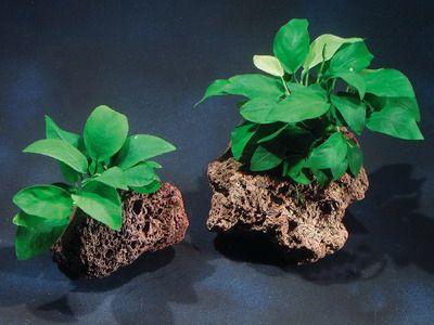 Anúbia Barteri var. Nana. Planta aquática para aquários plantados.