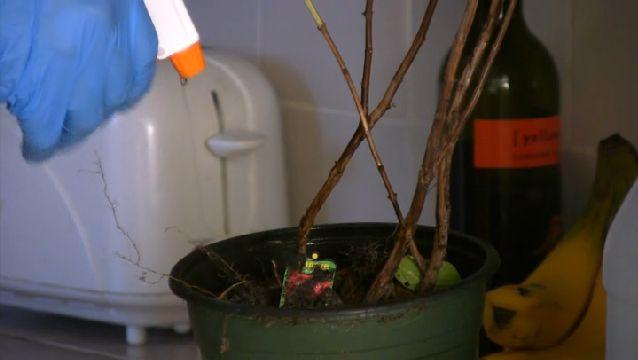 Video: How to Naturally Kill Gnats