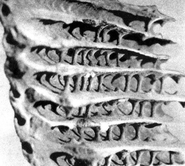 Обломок гнезда Апикотермес ангустатус. Снимок внутренней стороны. Видны ряды колонн, несущих на себе 'этажи' сооружения