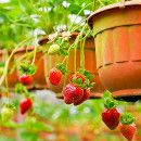 Boughten strawberries cannot compete with a strawberry from the garden. No garden. Complete how to steps for growing strawberries in containers. Strawberry Seed, Strawberry Planters, Strawberry Ideas, Container Gardening, Gardening Tips, Balcony Gardening, Vegetable Gardening, Veggie Gardens, Growing Strawberries In Containers
