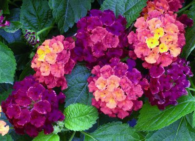 Lantana offer long lasting & dependable color. Thrive in the summer heat. They prefer well drained soil/a sunny spot. Work great in flowerbeds/containers. Bonus: they attract butterflies/hummingbirds! There are lots of selections to choose from: yellow/pink/orange/white/red. Show off their blooms w/ heat-loving plants such as-sun coleus, Tropicanna canna, little ruby alternanthera, Cuban gold duranta, & sweet potato vine. Lantanas we love: Athens rose, chapel hill yellow, miss huff, Dallas…