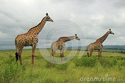 Three Giraffes in Tala Game Reserve in South Africa
