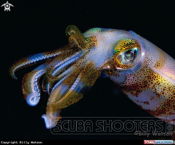 Bigfin Squid  in Lembeh - Indonesia