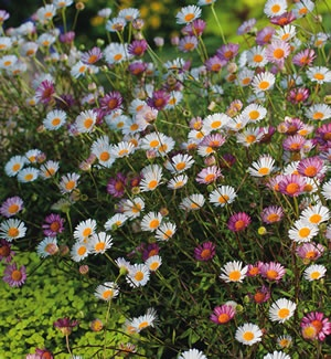 Erigeron karvinskianus   A very popular fast growing perennial ground cover. It produces masses of dainty flowers for up to nine months. It is suitable for a full sun to part shade position, is frost tolerant and requires little water once established.  Grows 5...