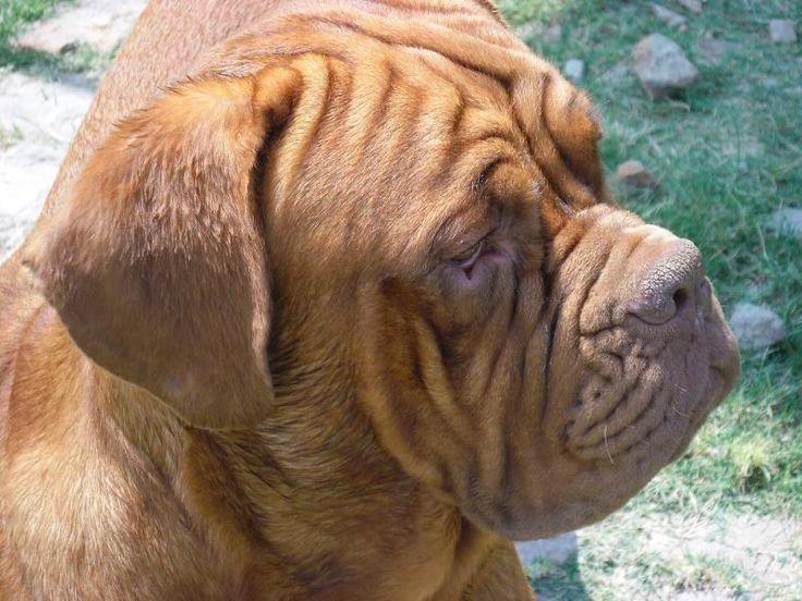 bordeaux mastiff   Dogue de Bordeaux (French Mastiff) For Sale   Arnold   Lucknow  INDIA ...