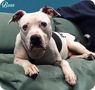 Mason, MI - Boxer/American Staffordshire Terrier Mix. Meet Boss, a dog for adoption. http://www.adoptapet.com/pet/17879778-mason-michigan-boxer-mix