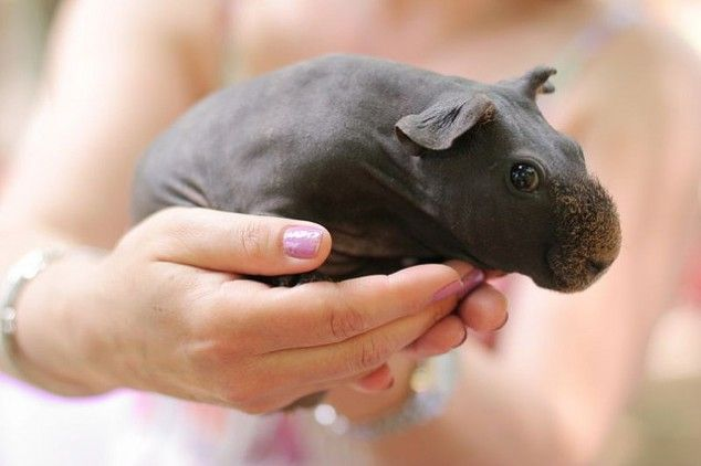 Look! A baby Hippo! No, actually, it's a hairless guinea pig. cuuuuuuuute