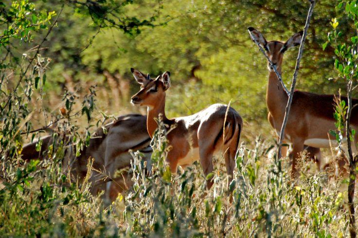 Impala's at Zandspruit Estate | Hoedspruit | South Africa www.villablaaskans.co.za