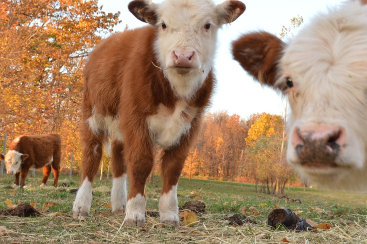 Middleground Miniature Herefords....i will have one of these as a housepet instead of a cat!