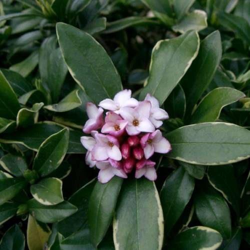 dapfne odorata-Arbusto muito interessante pela sua floração durante o Inverno, de Dezembro a Março. As flores brancas e rosa são agradavelmente perfumadas. A folhagem verde, com orla amarela, ornamenta perfeitamente pequenos e grandes jardins. Soberbo arbusto em maciço, a daphne pode também plantar-se em isolado.