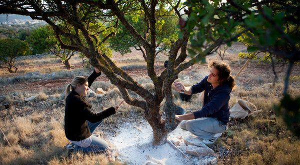 Mastiha growers - Chios
