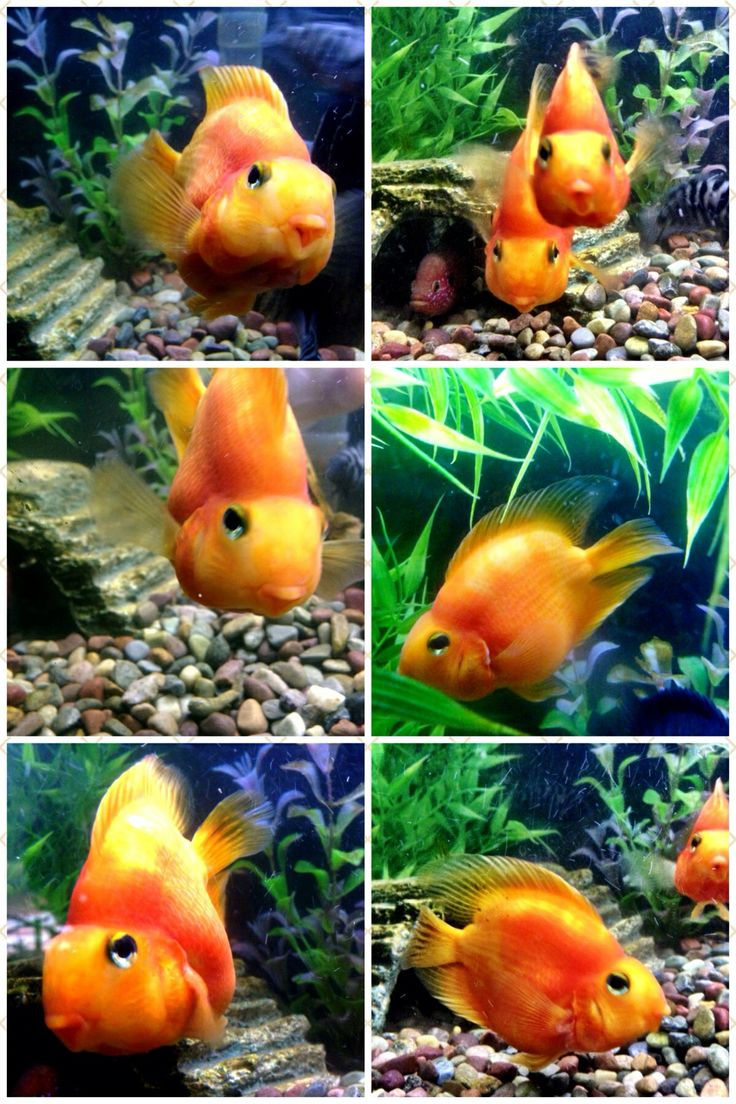 14 best Parrot Fish images on Pinterest | Fish aquariums, Fish tanks ...