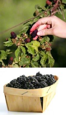 Thornless Blackberry Bush