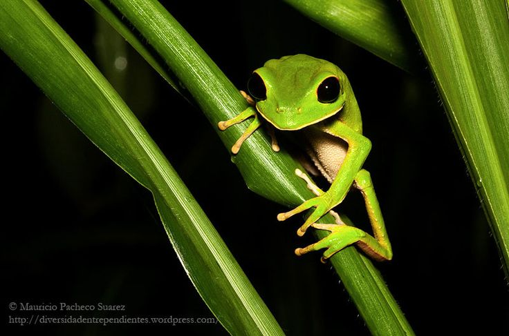 his big frog, occurs usually in dry forest of Bolivia, Brasil and Perú. But this particular specimens were found near Alto Beni river, in an area of lowland rain forest. This frogs breed in temporary ponds.