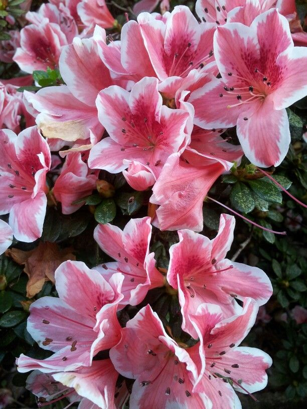 Azaleas- I havent seen this colour variety before