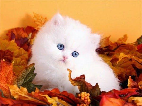 Découvrez ici des merveilleuses photos pour les plus beaux chats blancs.