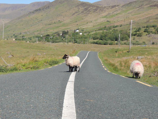 moutons-route-connemara-sheep-on-road