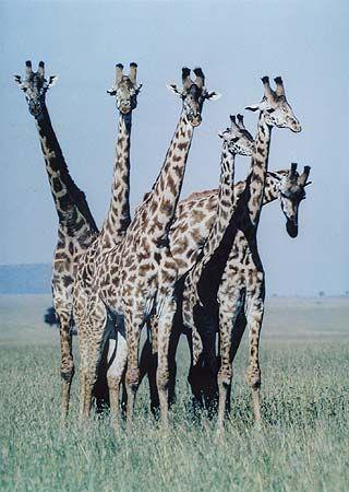 Giraffes, Serengeti Plain, Tanzania, February 1970