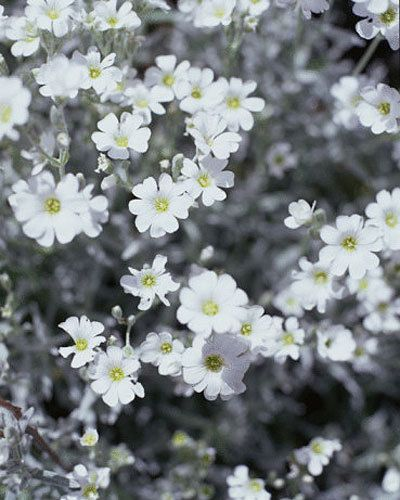Graham's top groundcover plants - Snow-in-summer