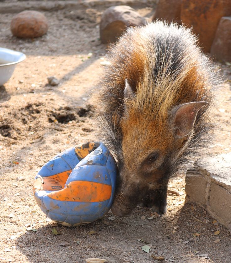 Watch Molly our baby bush pig playing football!