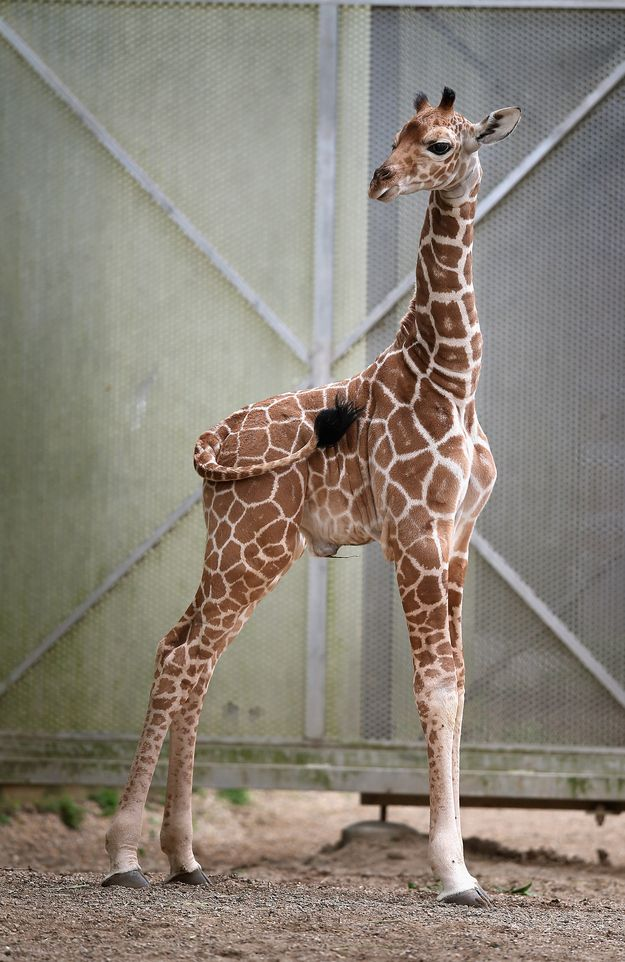 """No idea if this giraffe is a boy or girl but those lashes just scream """"she."""" 