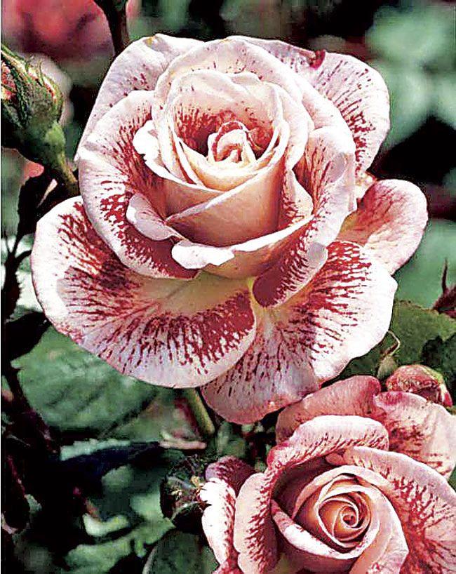 rosas arbustivas - Pesquisa Google