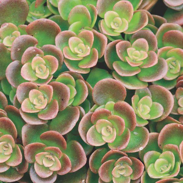 Chinese Sedum 'Coral Reef'. Heat and cold resistant:  purple ice plant, sedum lemon ball and Chinese sedum container garden.