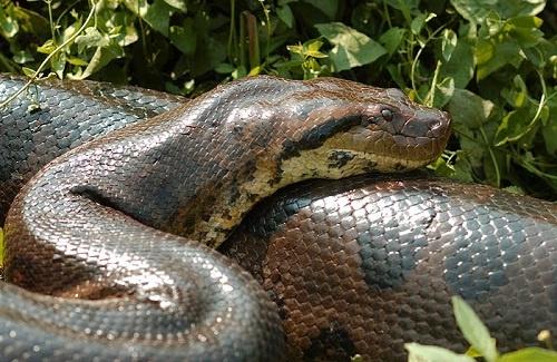As cobras são répteis parentes dos lagartos, que são estudadas pela hepertologia.