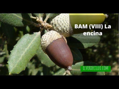 Bosque de Alimentos Mediterráneo (VIII) Encina