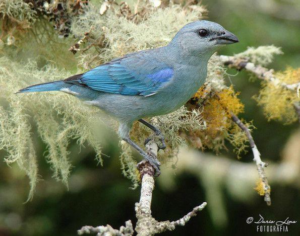 sanhaço-de-encontro-azul
